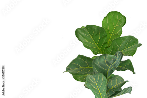 Wallpaper Mural fiddle leaf fig tree on white background.