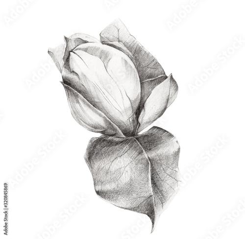 Sketch of Magnolia Flower