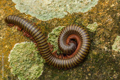 Vászonkép The giant Africa millipede or otherwise known as shongololo