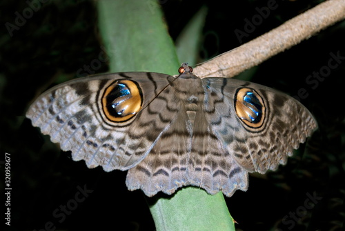 Canvas Print Name : Owl moth Location: Mulashi Pune Description: Common moth in and around pune area, has distinct big eye like spots on back of the wings