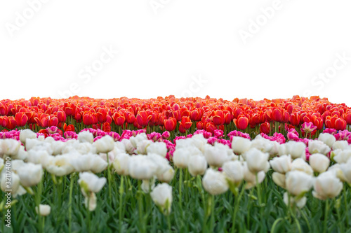 Spring coloful tulip bulb flower field isolated on white background #321174010