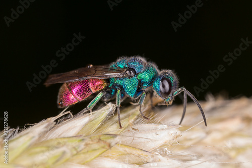 Vászonkép Chrysis ignita, also known as the ruby-tailed wasp, is a species of cuckoo wasps