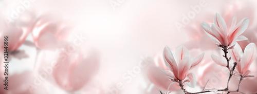 Closeup of blooming magnolia tree in spring on pastel bokeh background.