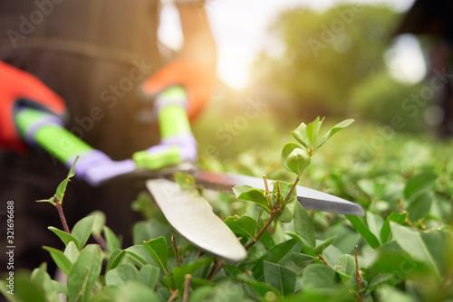Tableau sur Toile Male hands cutting bushes with big scissors.