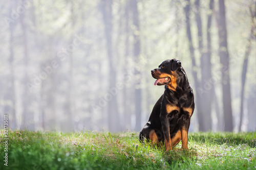Fotografie, Obraz Beautiful Rottweiler dog sitting on the grass and looking on a beautiful background with a haze