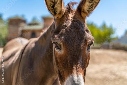 Fototapeta Donkey looking in the camera