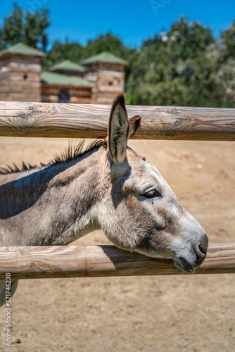 Fototapeta Two donkeys