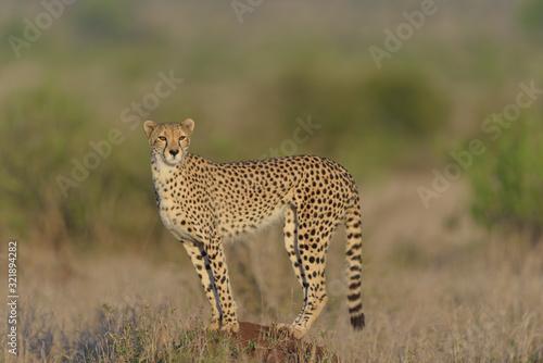 Obraz na płótnie Cheetah in the wilderness of Africa, cheetah cub, cheetah mom