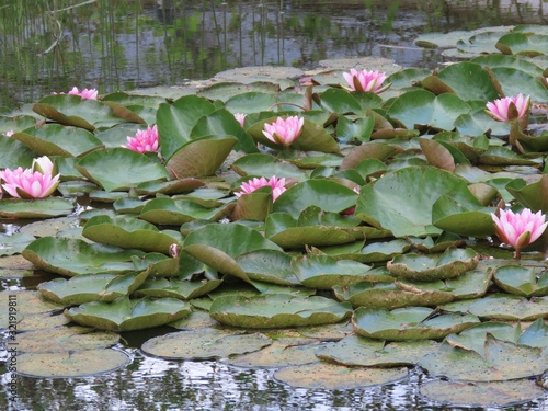 Canvas Print Water lilies in pond
