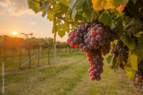 Fotografía grape harvest Italy