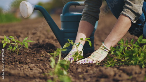 Farmer hands planting to soil tomato seedling in the vegetable garden. On the background a watering can for irrigation. Organic farming and spring gardening concept