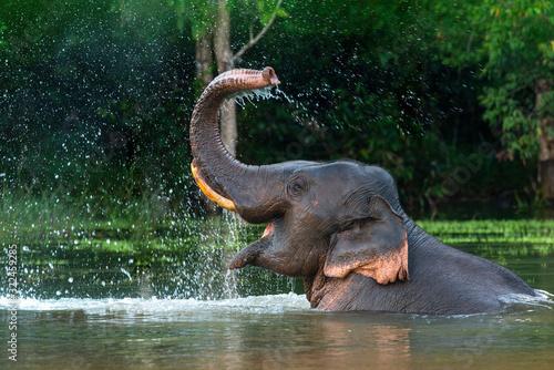 Wallpaper Mural A male Asian elephant is enjoying bathing.