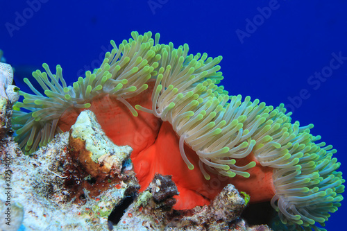 Photographie Magnificent sea anemone