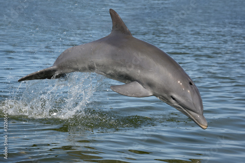 Canvas Print Bottlenose dolphin jumping out of water