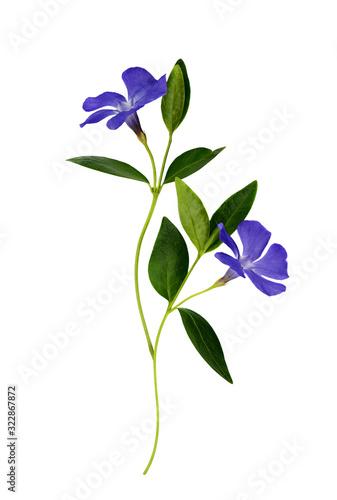Fotografia Set of blue periwinkle flowers