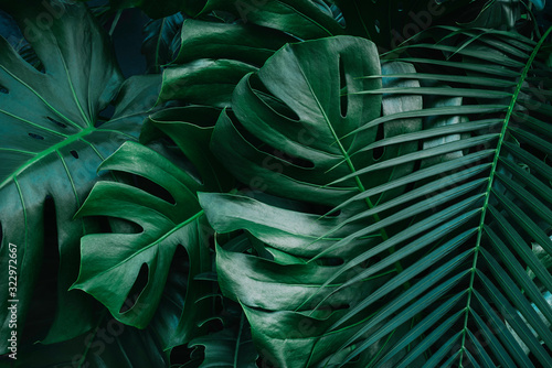 Valokuvatapetti Monstera green leaves or Monstera Deliciosa in dark tones, background or green leafy tropical pine forest patterns for creative design elements