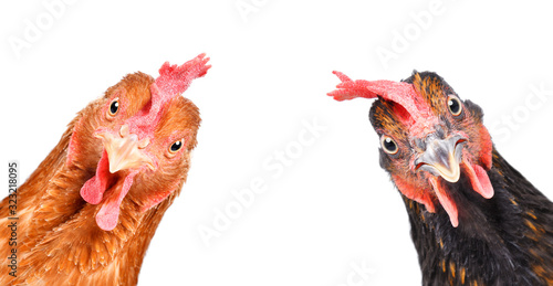 Portrait of a  funny chickens, closeup, isolated on white background Poster Mural XXL