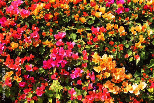 Tablou Canvas Beautiful red,pink and yellow bougainvillea flowers