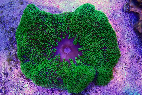 Green Carpet anemone - Stichodactyla haddoni Fototapeta