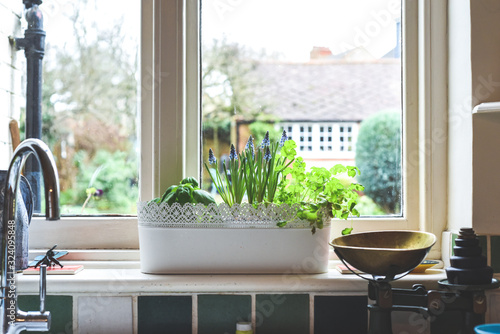 Stampa su Tela Window box with herb garden and spring bulbs growing in a home kitchen interior
