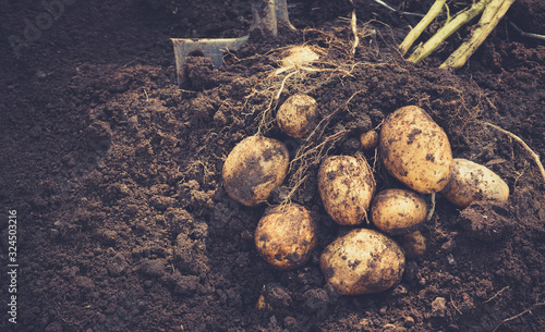 Stampa su Tela Beautiful fresh large tubers of new potatoes on a brown ground close-up