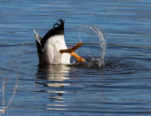 Carta da parati Mallard duck diving for food