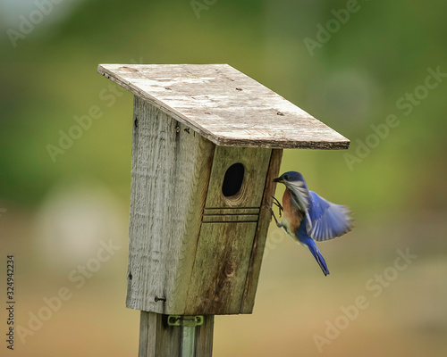 Canvas Print Bluebirds in the Midwest