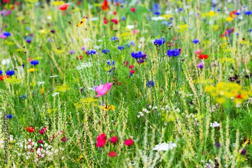 Fototapeta Butterfly meadow background, colorful native flower field