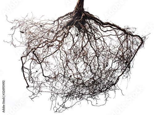 Photo tree roots isolated on white background