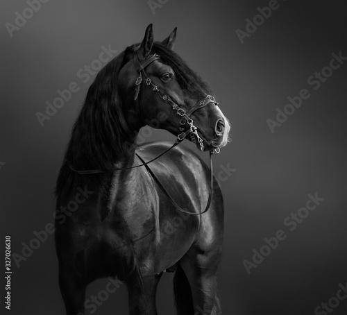 Andalusian Horse in portuguese baroque bridle. Fototapeta