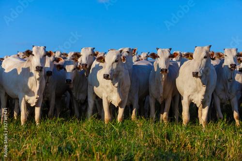 Gado Nelore, rebanho de bois da raça Nelore no pasto, pecuária brasileira, agron Tapéta, Fotótapéta