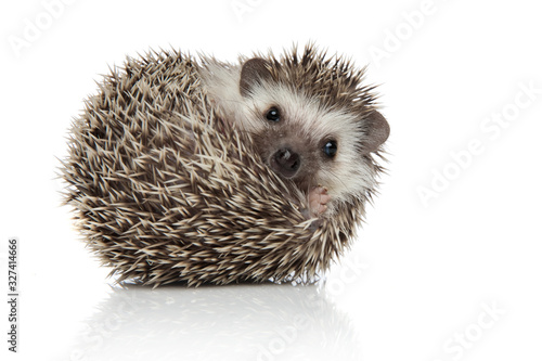 Obraz na plátne african hedgehog rolling over while looking at camera happy