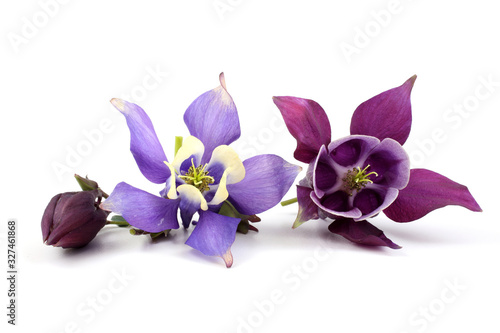 Foto Blue and violet aquilegia flower