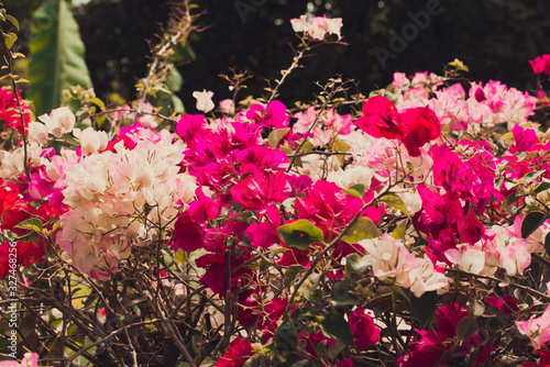 Canvas Print red and white flowers Bougainvillaea in the garden