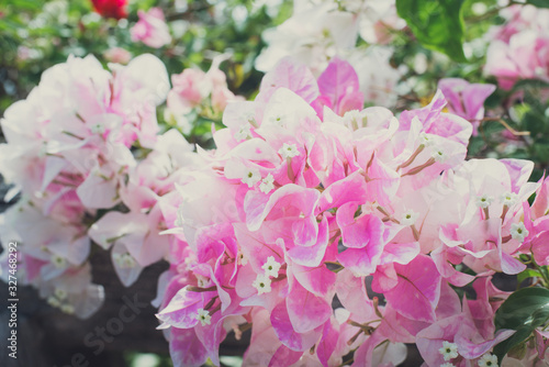 pink and white flowers Bougainvillaea in the garden Fototapete