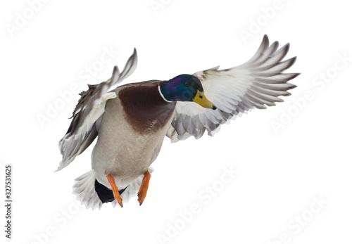Stampa su Tela dark head mallard duck drake on white in flight