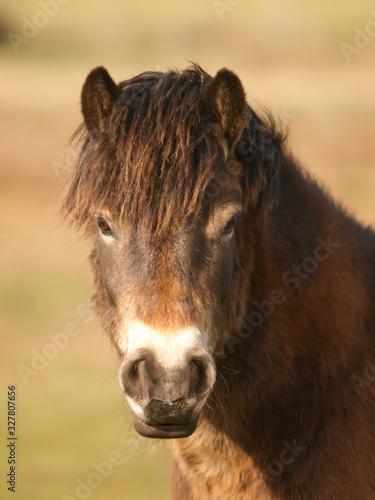 Stampa su Tela Exmoor Pony Headshot
