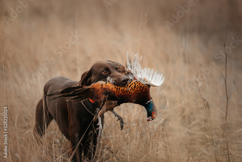 Photo happy hunting dog bringing pheasant game in mouth