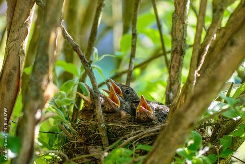 Foto Amselküken im Nest warten mit geöffneten Schnäbeln auf Futter
