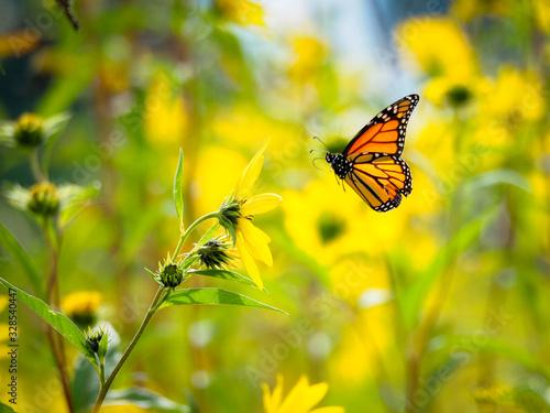 Fotografia monarch butterfly flying in field of yellow flowers