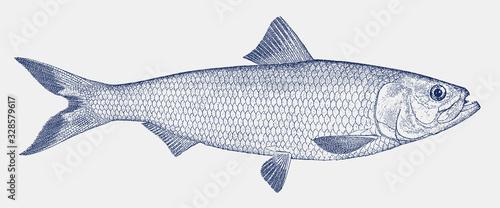 Photo Skipjack shad alosa chrysochloris, a fish from the Gulf of Mexico drainage basin