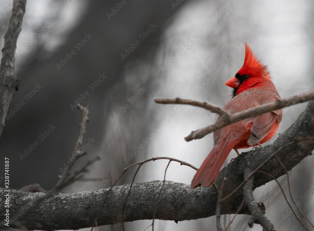 A bright red Cardinal bird is perched on a branch of a bare tree due to winter. <span>plik: #328741887   autor: Martin</span>