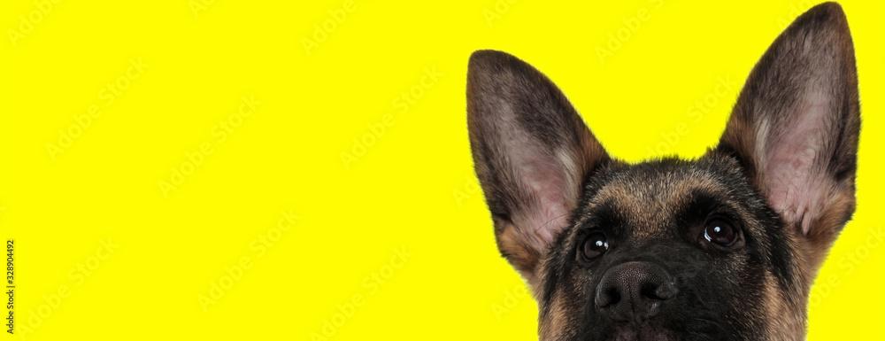 german shepherd dog hiding face from camera shy <span>plik: #328904492 | autor: Viorel Sima</span>