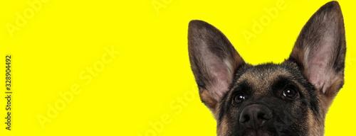 Canvas Print german shepherd dog hiding face from camera shy