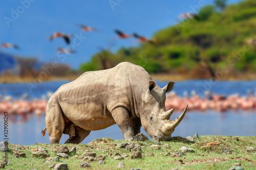 Fotografia Rhinoceros on a background of pink flamingos in Nakuru National Park