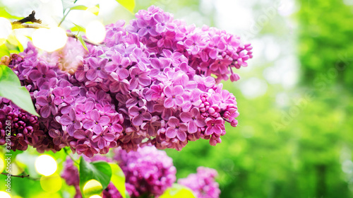 Canvas-taulu Blooming lilac flowers