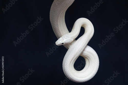 Canvas Print The Texas rat snake (Elaphe obsoleta lindheimeri ) is a subspecies of rat snake, a nonvenomous colubrid found in the United States, primarily within the state of Texas