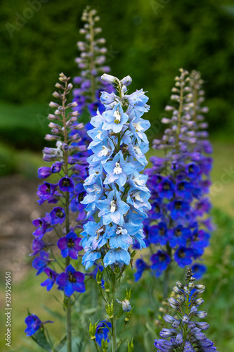 blue delphinium flowers blooming on blurred background Poster Mural XXL