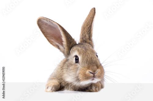 Fototapeta gray fluffy rabbit looking at the signboard
