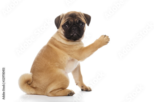 Pug puppy, isolated on a white background Fotobehang